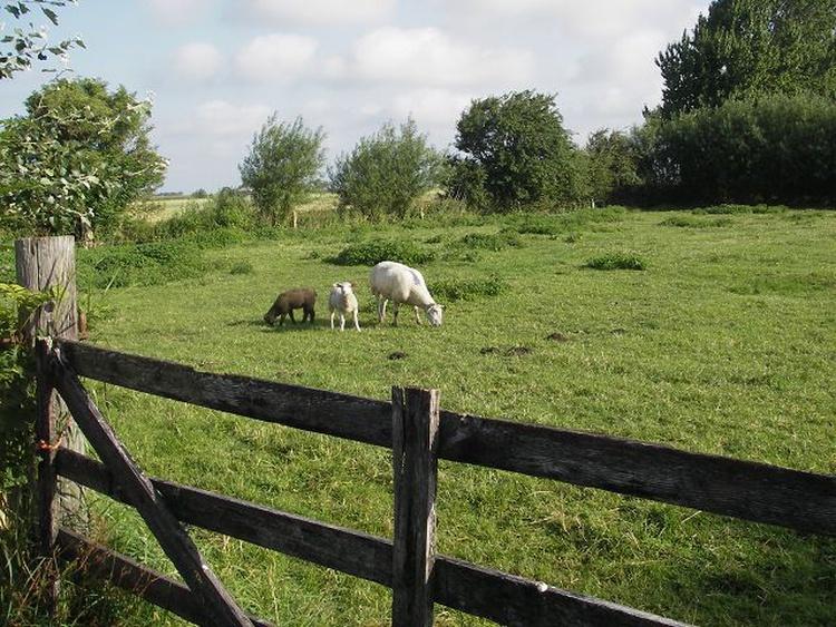 Blick auf die Wiese mit Schafen